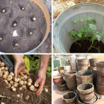 The Secret To Grow A Hundred Pounds Of Potatoes In A Barrel