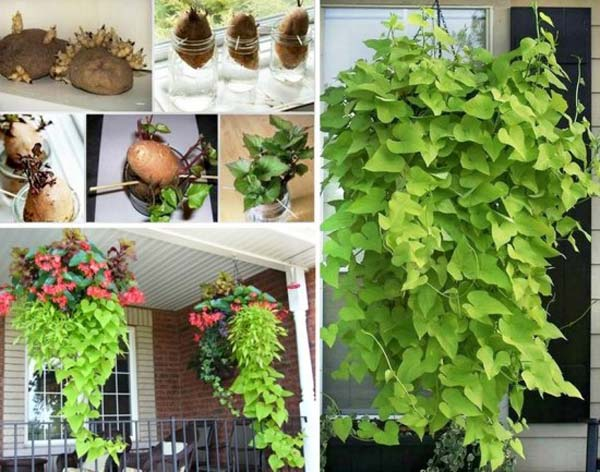 DIY-Sweet-Potato-Vine1