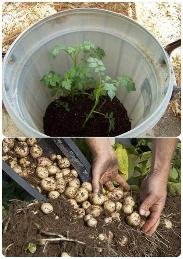 Grow-100-Pounds-of-Potatoes-In-a-Barrel