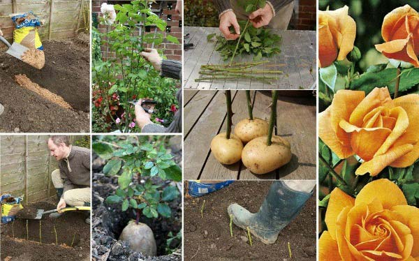How-to-Propagate-Roses-Using-Potatoes