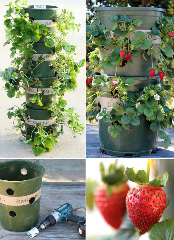Strawberry Garden Ideas find this pin and more on garden growing strawberries Drill The Holes On The Plastic Nursery Pots And Stack Them Together To Build A Strawberry Tower