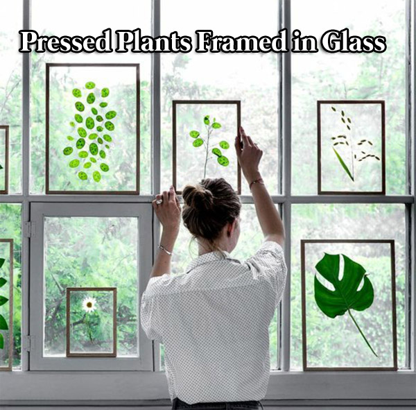 Pressed plants framed in glass
